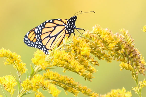 Monarchs in the High Country: Helping Nature's Ambassadors Fly High