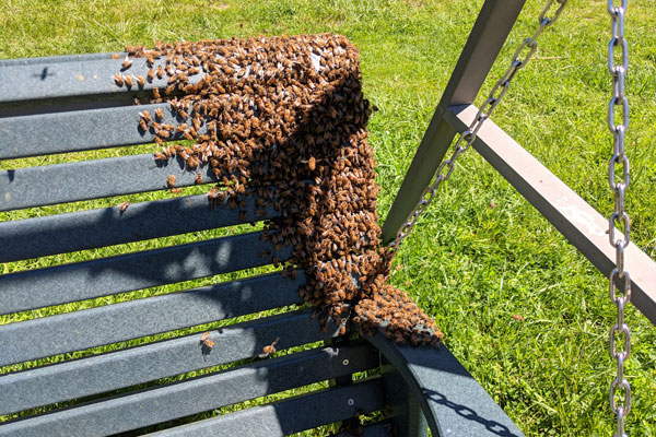 It's Swarm Season: Honey Bees Are House Hunting